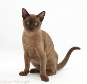 Kucing Burma
